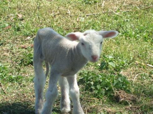 La Griffe et le petit agneau «Pascal»