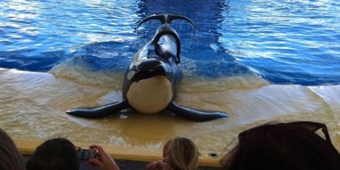 Tilikum, «L'orque tueuse» : une tragédie en noir et blanc