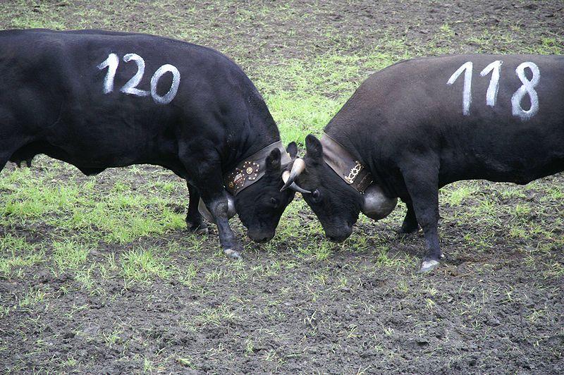Bêtes noires dans le Cantal : après le taureau, la « vache de combat »
