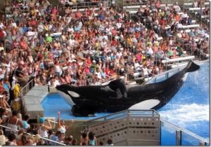 Tilikum, l'orque par qui le scandale est arrivé.