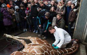 L'euthanasie en public d'un girafon au zoo de Copenhague avait suscité un grand émoi, alors que ce genre de pratique est courant dans les zoos.