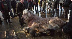 Un marché aux chevaux en Pologne...